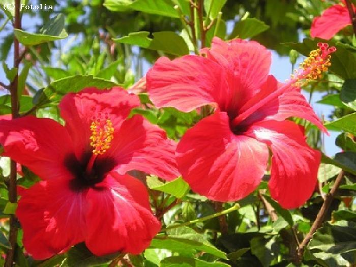Fleurs hawaii - Fleure hawaienne ...