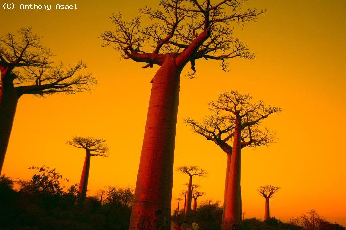 Baobabs - Saly