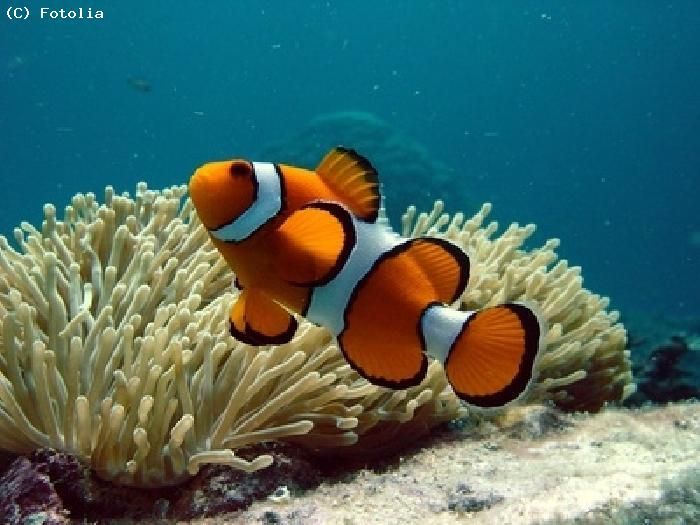 Poisson clown - Faafu Atoll
